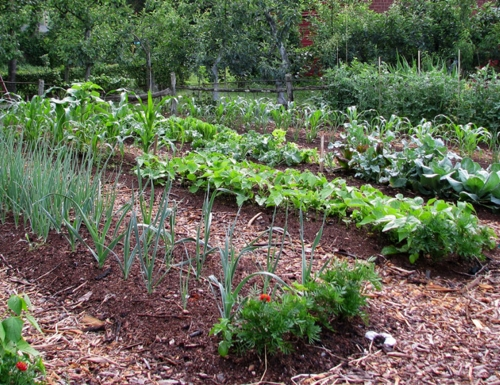 mulching vegetable plants